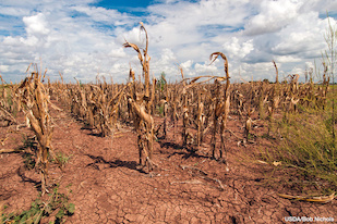 Corn shows the effect of a drought in Texas in August 2013. The state had gone through one of the worst droughts in its history, causing significant economic damage to farmers and ranchers. Image credit: U.S. Department of Agriculture/Bob Nichols. (Click to download high-res version.)