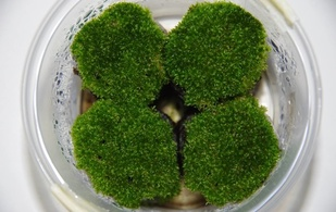 P. patens, the moss used for the study, growing in the laboratory. Photo: Jörg Becker, Instituto Gulbenkian de Ciência. (Click image to download hi-res version.)