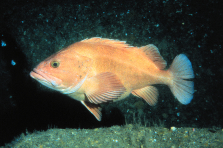 Yelloweye rockfish swimming in the ocean.