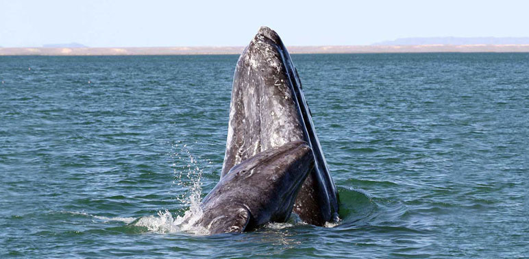 Gray whale breaching water