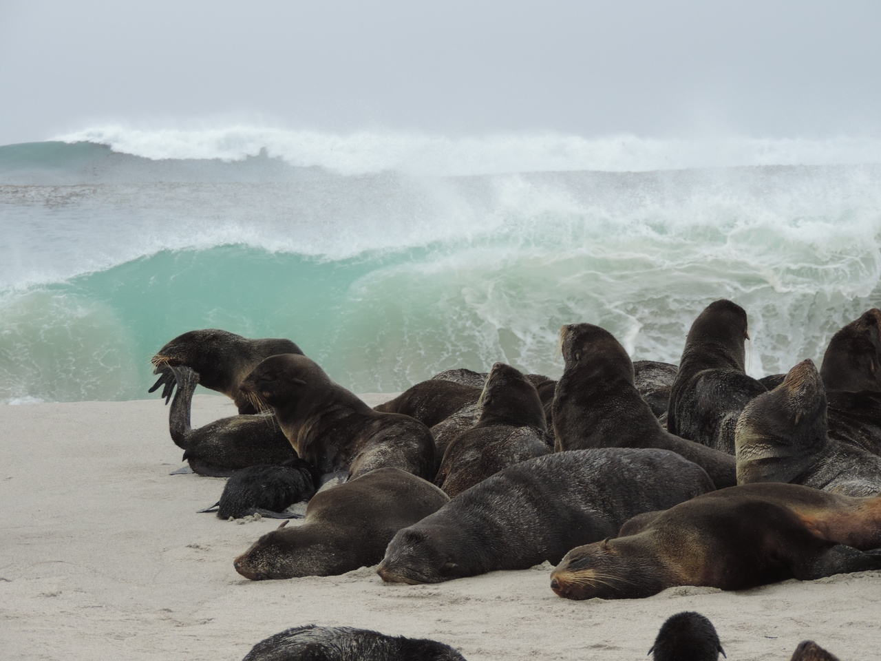 Northern fur seals on a beach.