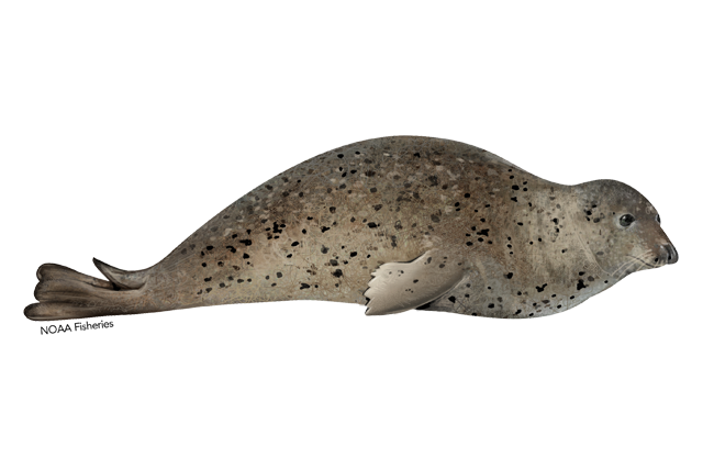 Spotted seal illustration.