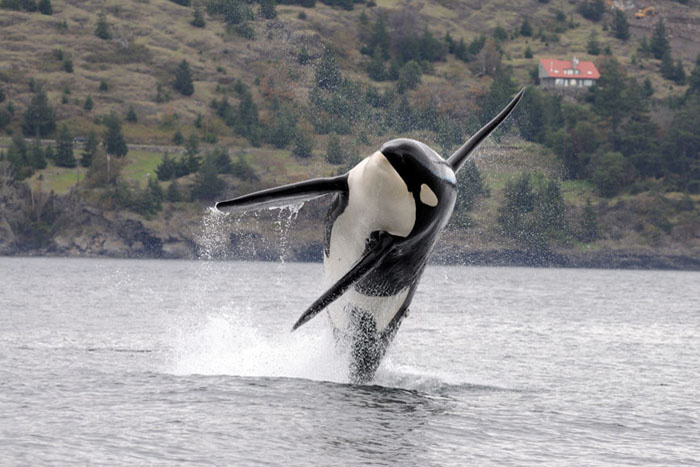 A Southern Resident killer whale leaps into the air. Credit: NOAA.