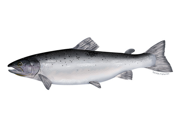 Atlantic salmon illustration