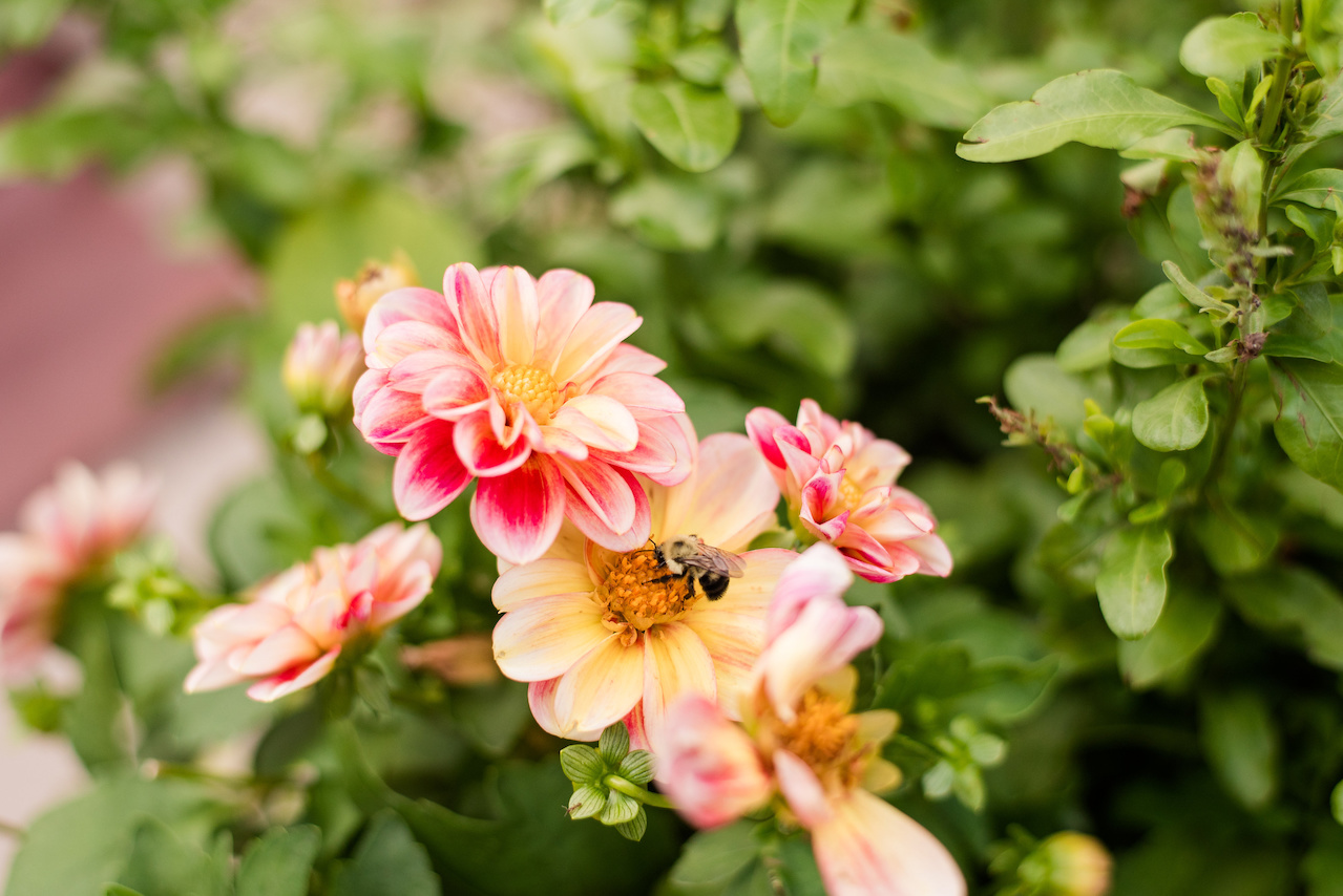 A bumblebee goes about his work among the dahlias.
