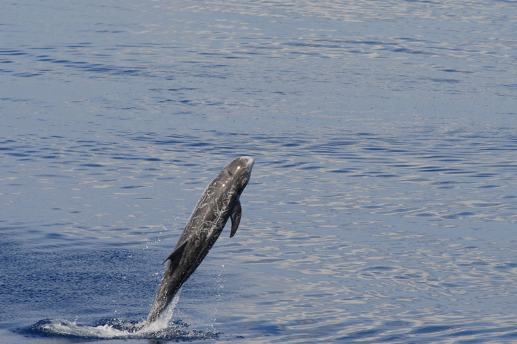 Picture of a Risso's dolphin jumping out of the water.