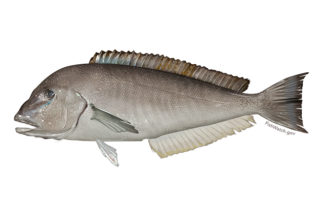 Blueline tilefish illustration