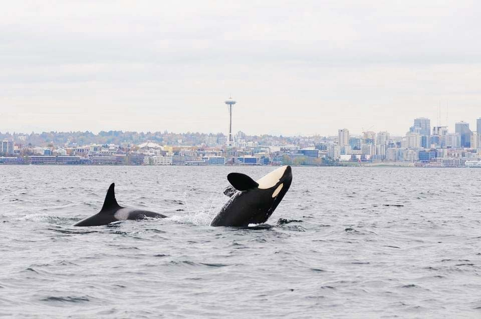 Orca_by_Candice_Emmons_NOAA.jpg