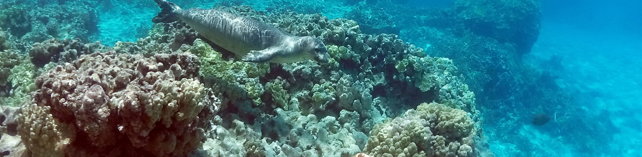 Monk seal swimming over a coral reef bottom