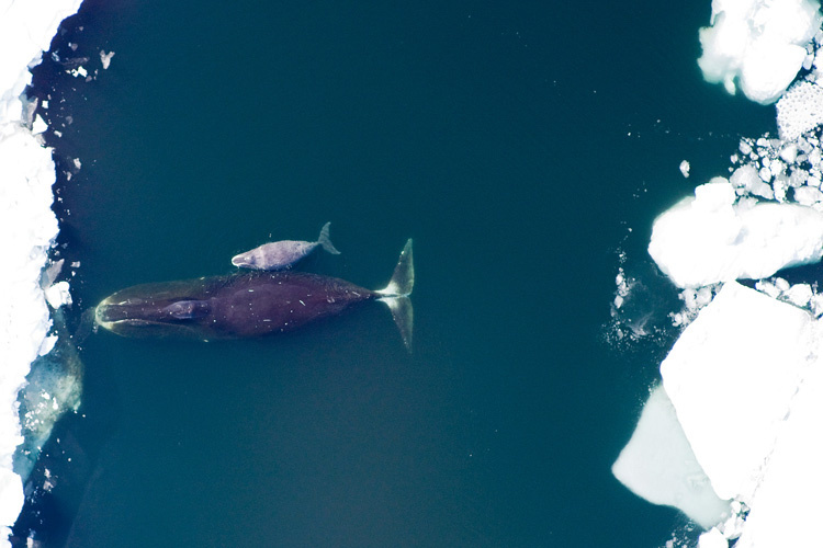 Bowhead whale and calf swimming in the ocean close to sea ice.