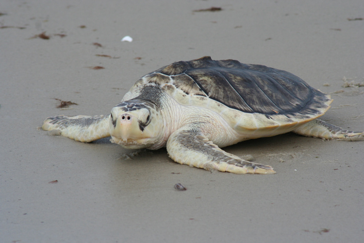 A Kemp's Ridley sea turtle on the beach.