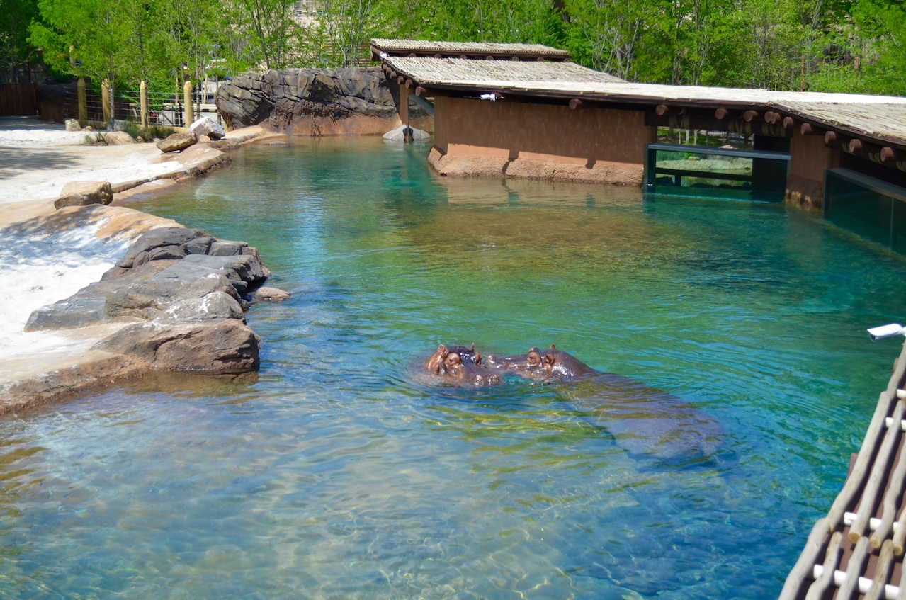 Happy, happy hippos at the new Zambezi exhibit!