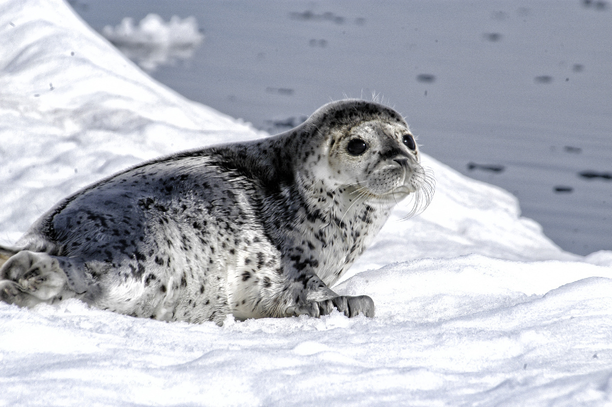 Spotted Seal, Ice Seal
