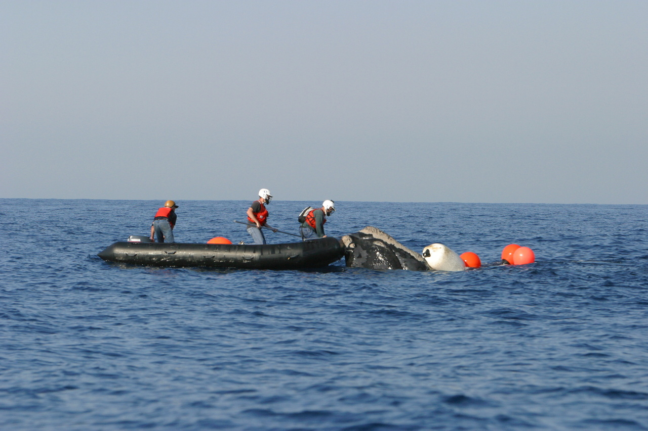 Florida Fish and Wildlife Commission partners disentangle a North Atlantic right whale NOAA MMHSRP Permit 18786