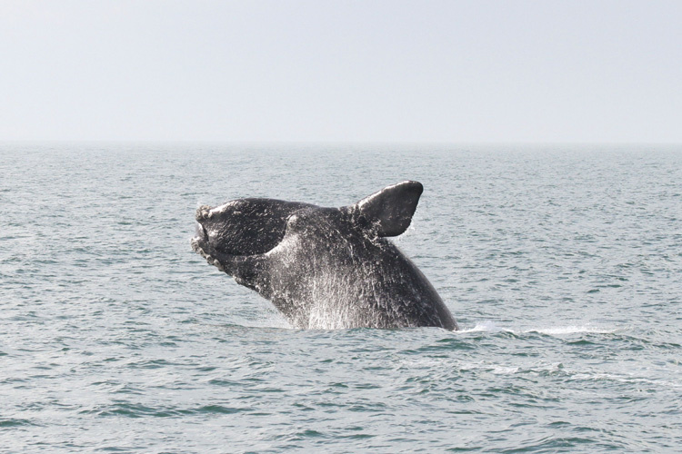 North Atlantic right whale breaching out of the water.