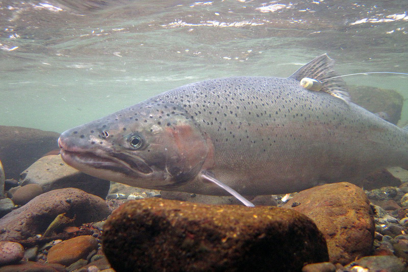 Steelhead in Elwha River. Credit: John McMillan/NOAA Fisheries.