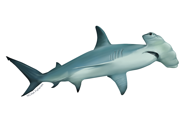 Scalloped hammerhead shark illustration
