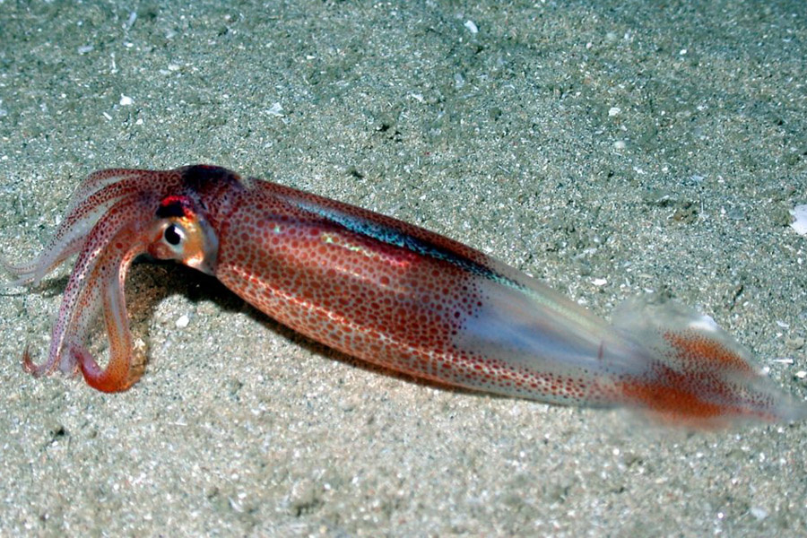 Longfin squid