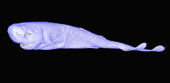 Pocket shark CT scan