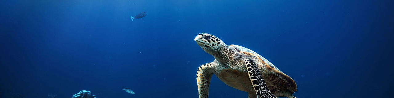 Sea turtle floating over coral reef