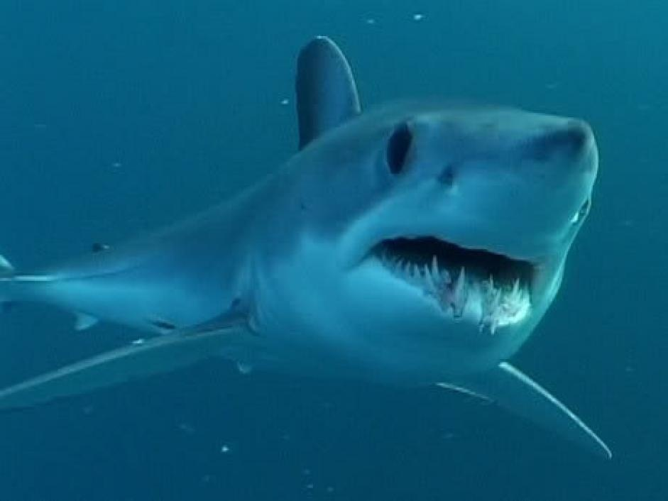 Shortfin mako swimming