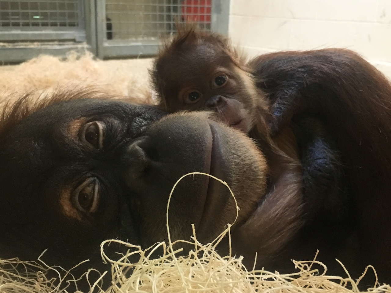 Too cute for words! Mama Jahe and baby Rowan at the Memphis Zoo