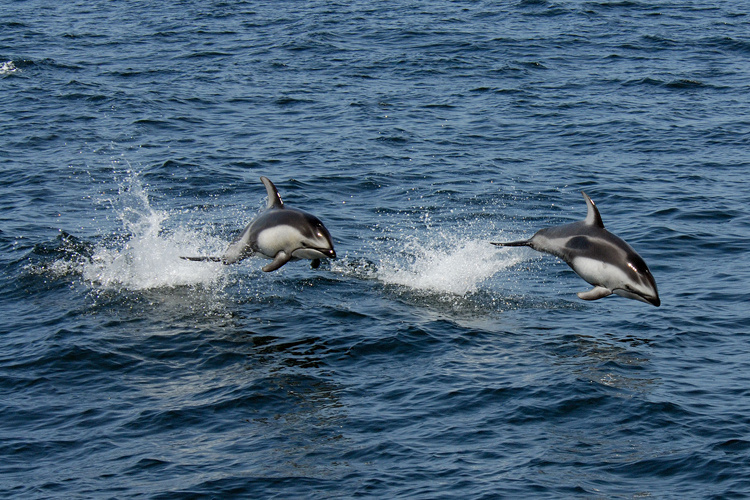 Pacific white-sided dolphins jumping out of the water.