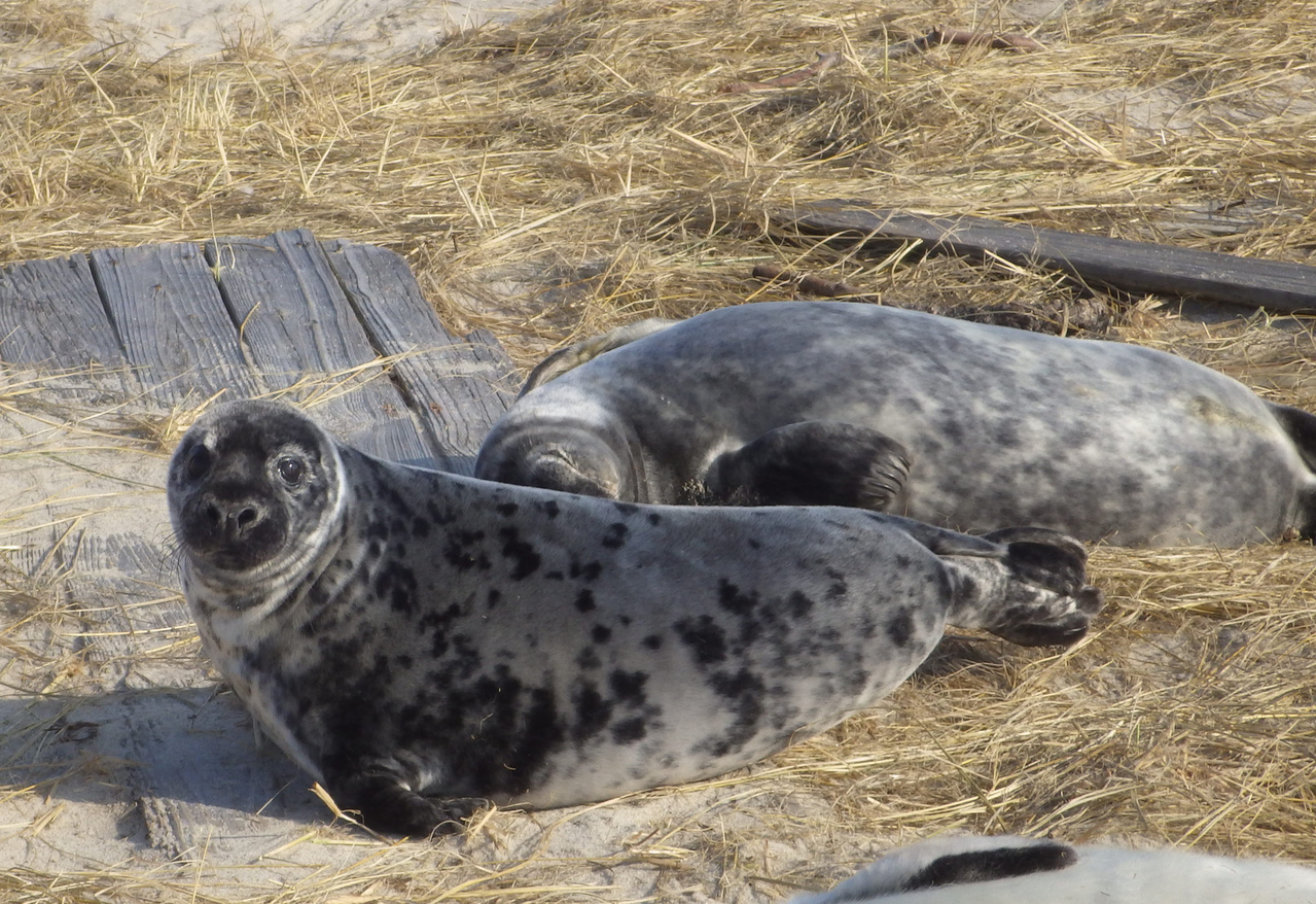 Two gray seals