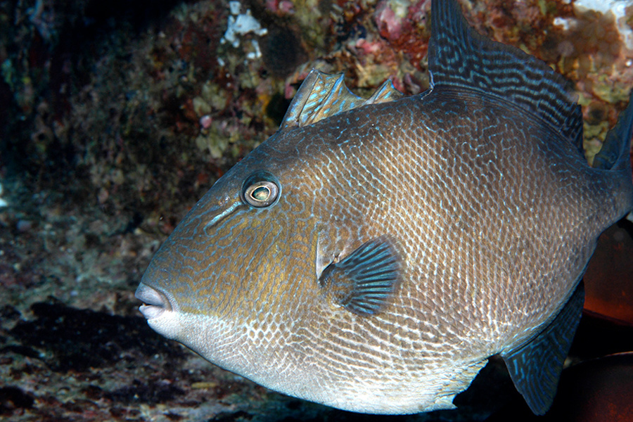 Gray triggerfish swimming close to a reef.
