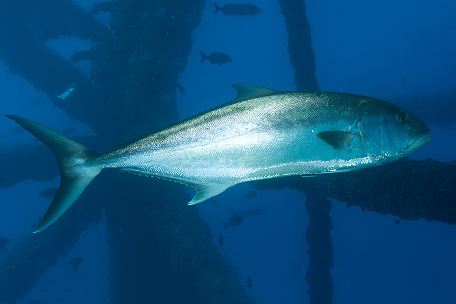 Greater amberjack swimming close to a shipwreck.