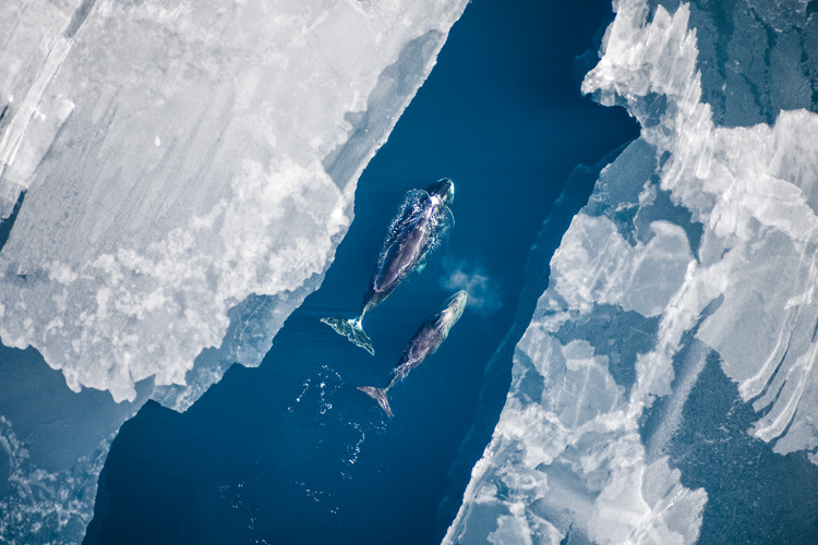 Aerial Surveys, Bowhead Whales