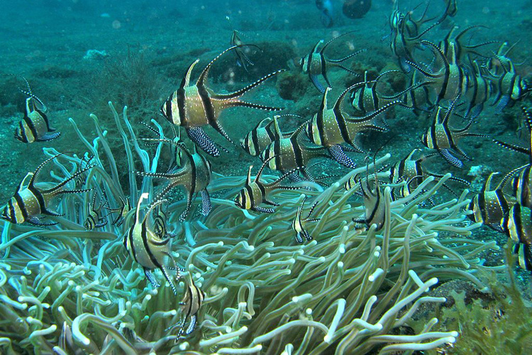 Banggai cardinalfish swimming near a reef.