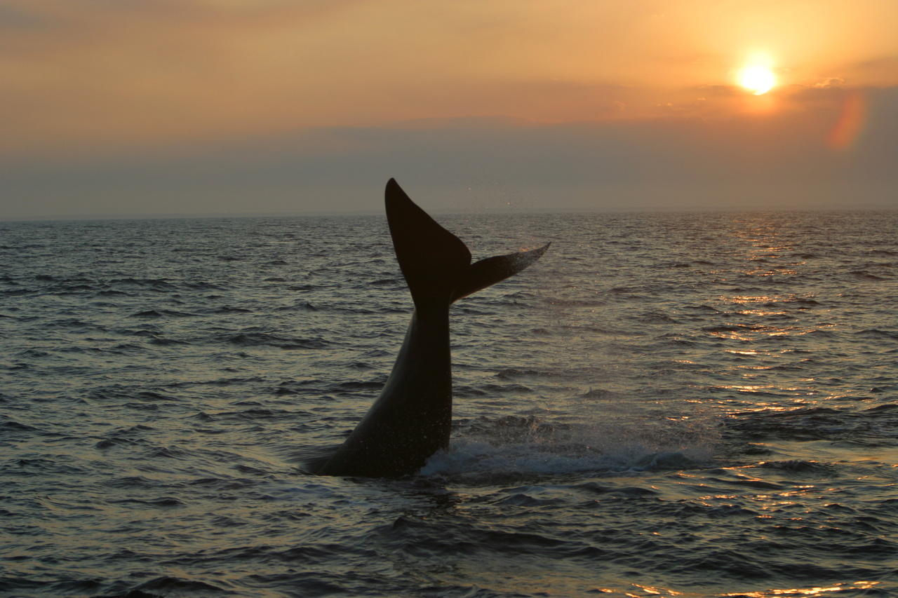 Right whale tail Photo by Jamison Smith.jpg