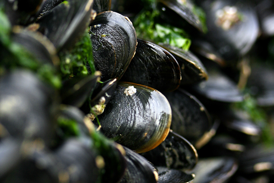 Picture of blue mussels.