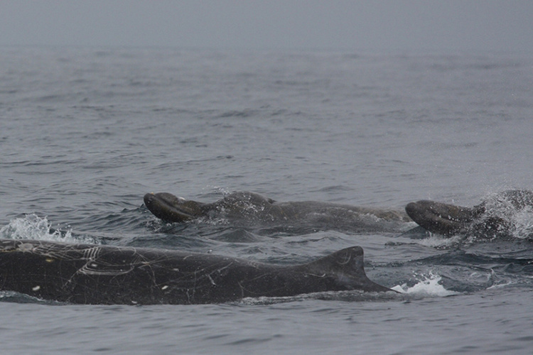 A pod of Baird's beaked whales swimming in the ocean.