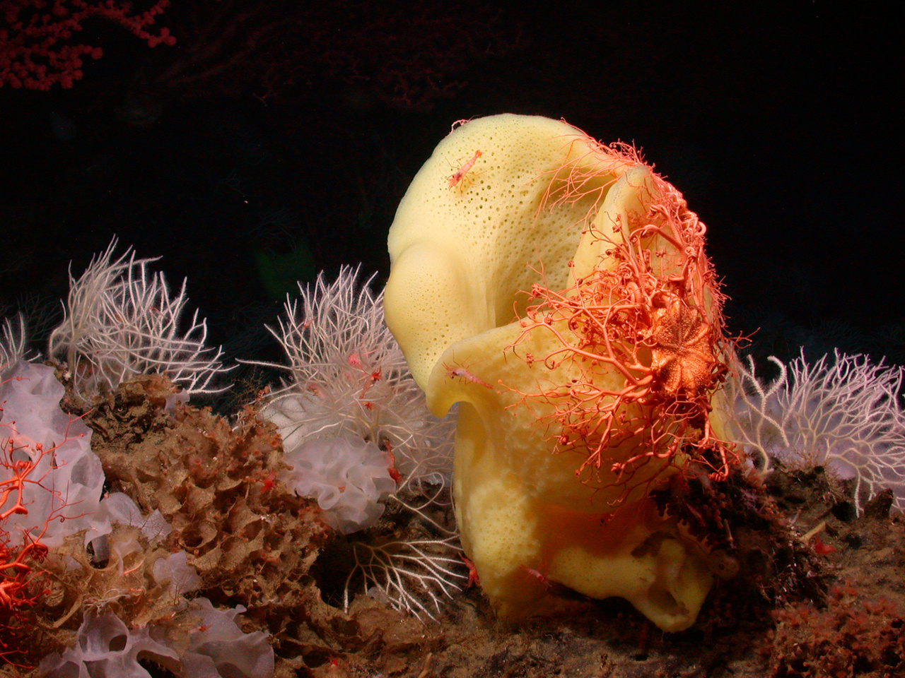 An orange basket star covers a Picasso sponge at Davidson Seamount, California.