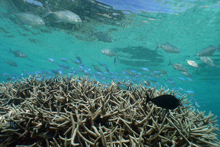 Underwater photograph of staghorn coral.