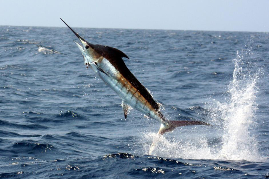 Pacific blue marlin jumping out of the water.