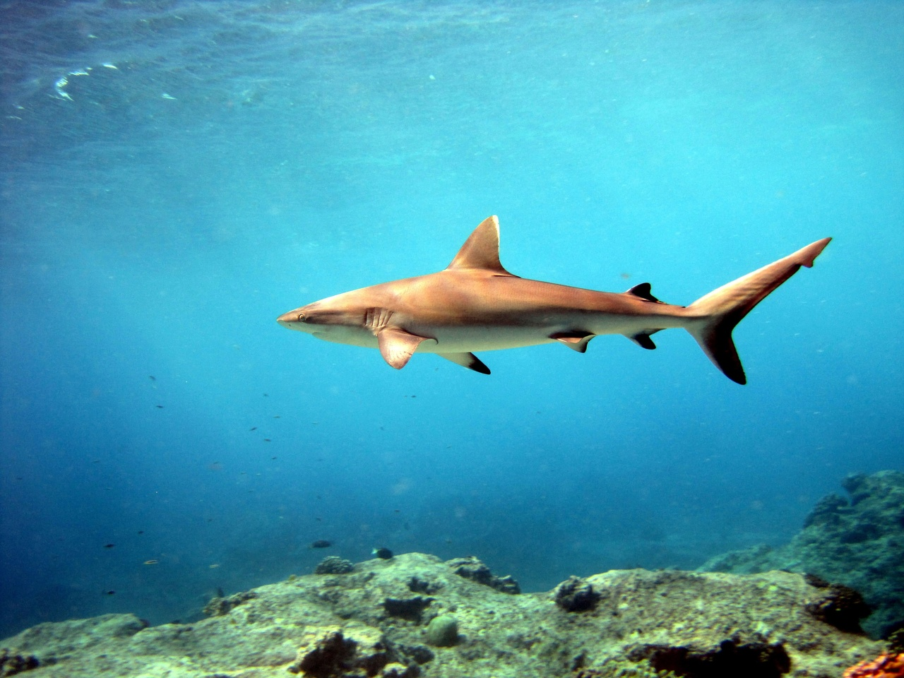 3648x2736-grey-reef-shark-pacific-islands.jpg