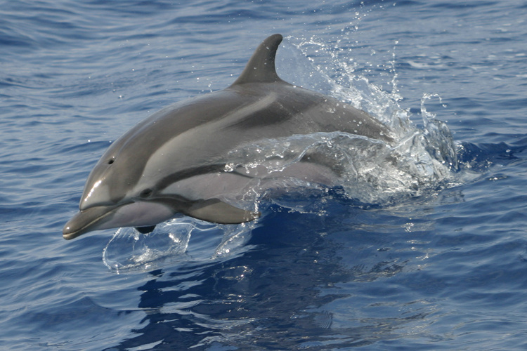 Striped dolphin leaping out of the water.