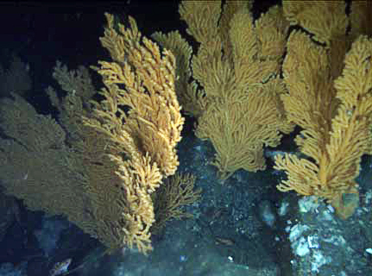 Rockfish (Sebastes spp.) in a red tree coral (Primnoa pacifica) thicket at the Fairweather Grounds in southeast Alaska.