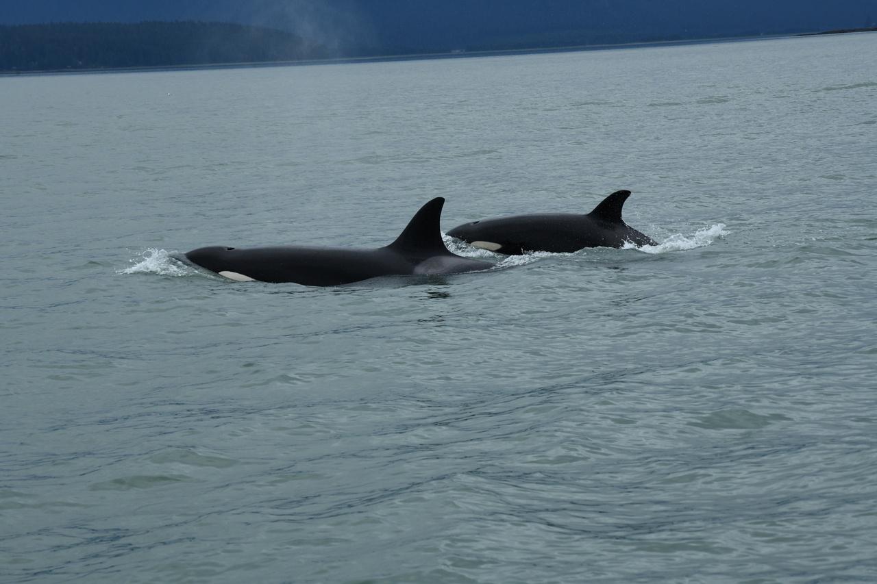 Killer_Whales_Juneau-Summer-Whale-Survey_2020_NMFS-JRM-20200722-1-015.JPG