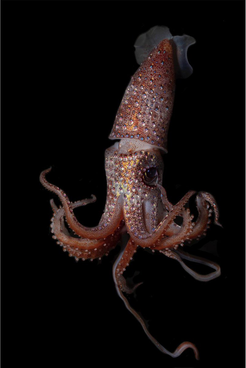Strawberry Squid