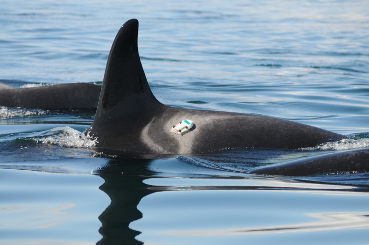 Digital acoustic recording tags temporarily attached to akiller whale