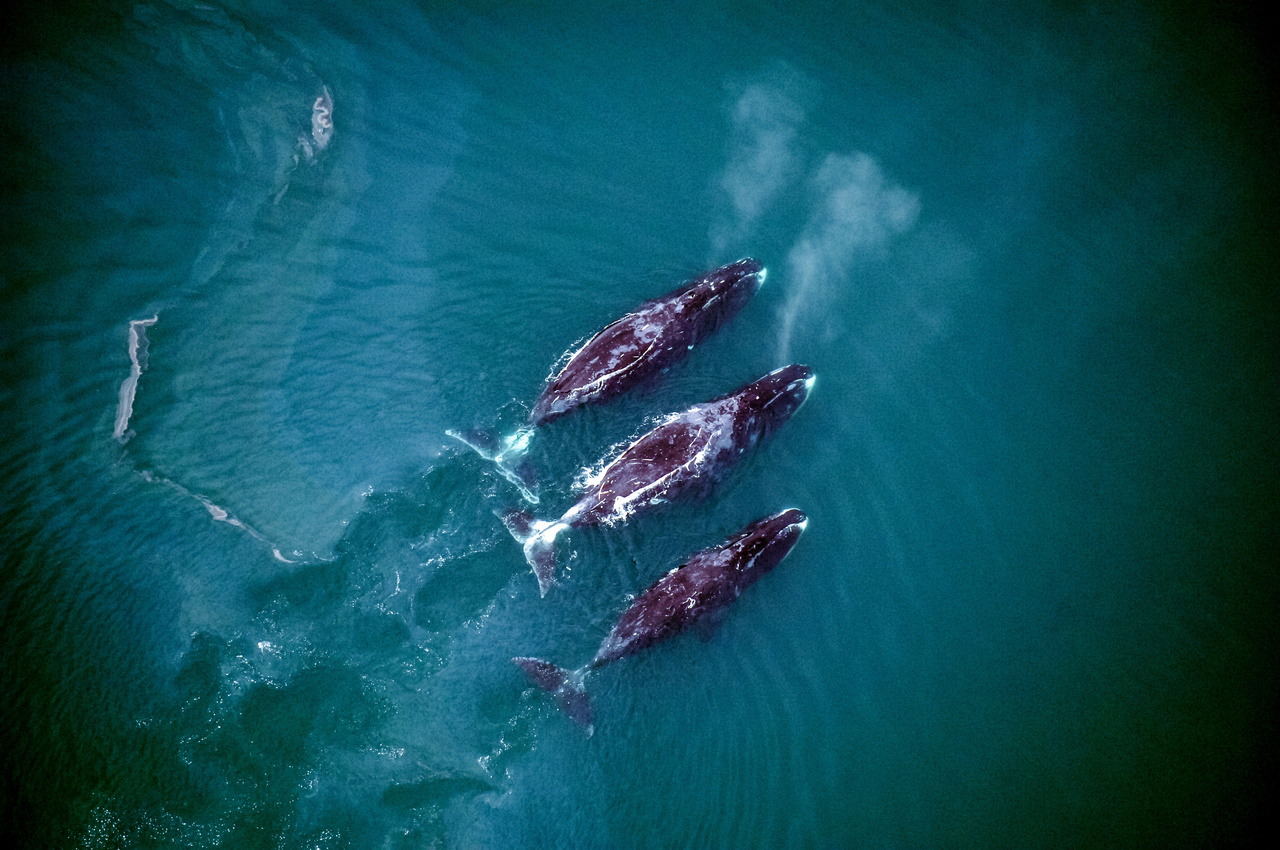 A group of Bowhead whale off the coast of Alaska.