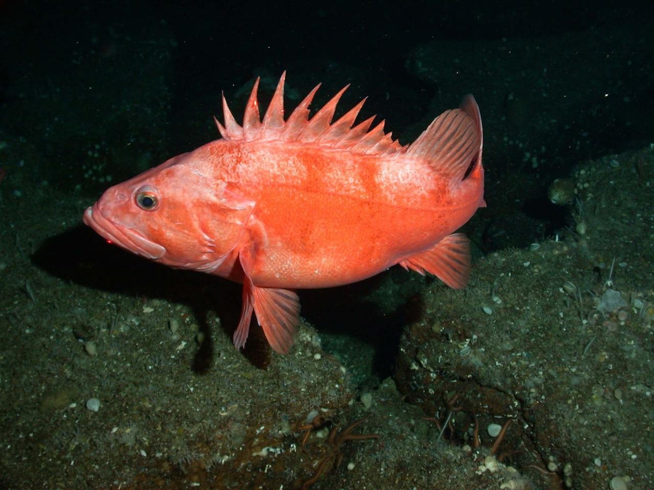 Cowcod rockfish - a rebuilt stock