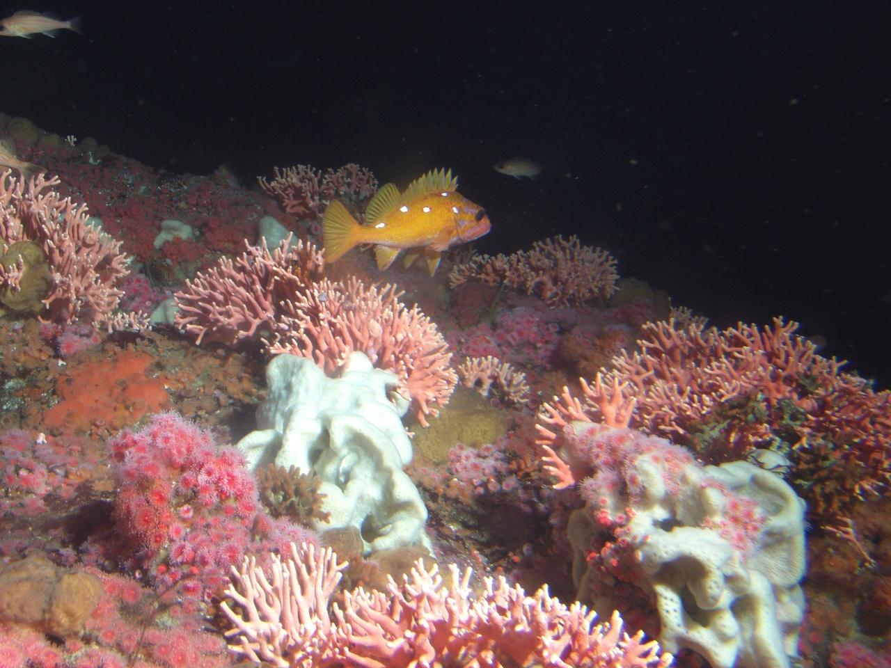 A rosy rockfish swimming among California hydrocoral.