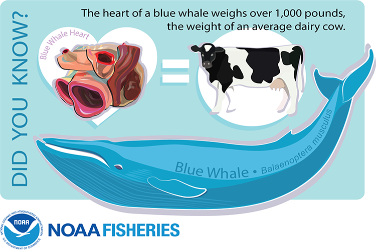 Blue whale heart weighs as much as a cow.