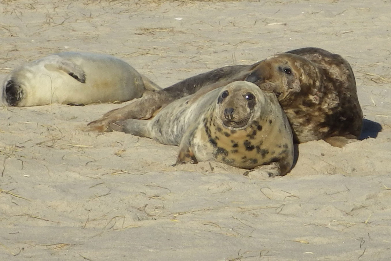 mother and father gray seal with pup lying on sand