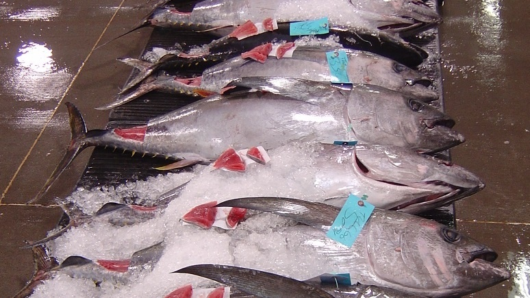 Bigeye tuna lined up at the Honolulu fish auction